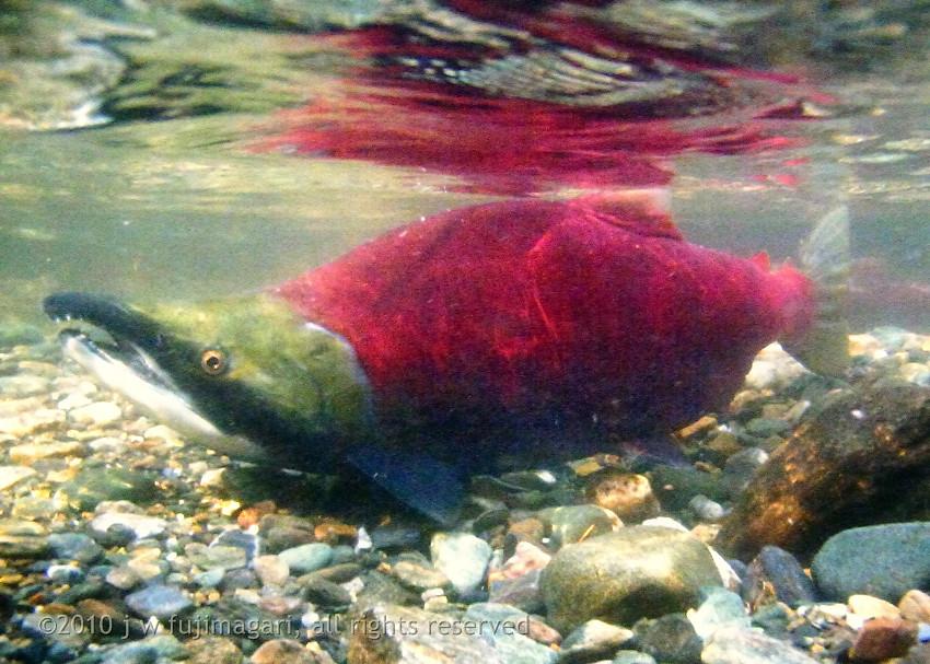 Sockeye Underwater 5