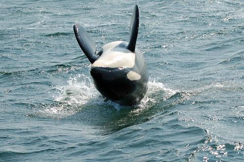 Orca Back Flip, Vancouver Island