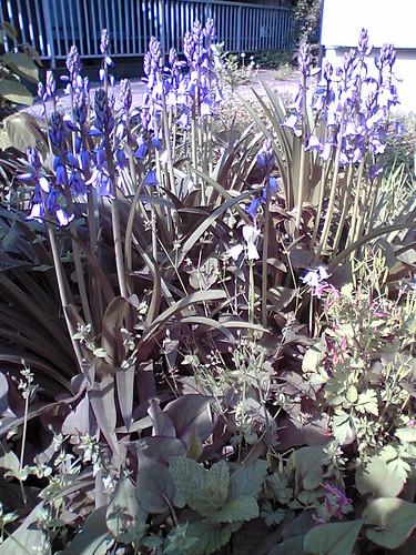 Bluebell garden