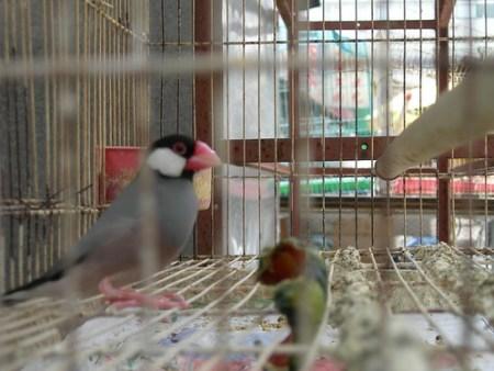 A Lovebird, I think