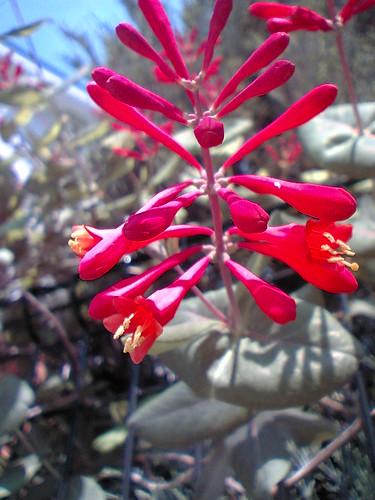 scarlet trumpet honeysuckle