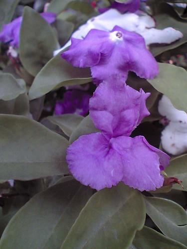 Brunfelsia or Nioi-banmatsuri