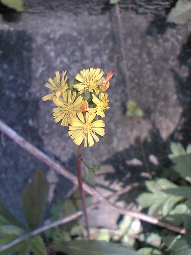 Dandelion spp.