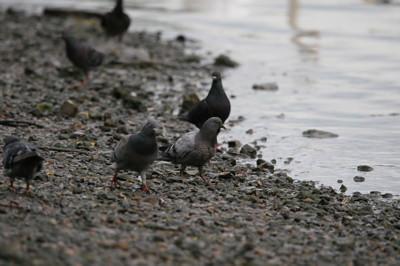pigeon blog