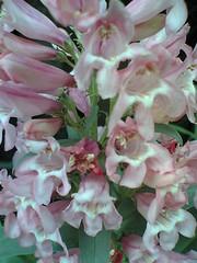 Linaria pink?