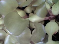 pond succulent2