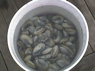 Bucket O' Clams