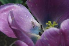 Macro Tulip, Purple I