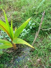 Gamal sebagai tanaman pelindung Kelapa. Tidak tahan pada kondisi terendam air.
