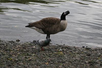 pigeon blog - big fucking goose looking at me