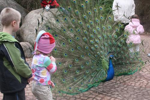 Woodland Park Zoo Peacock