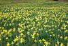 Carpet of daffodils
