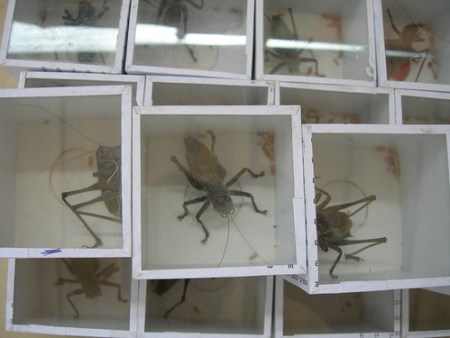 Crickets in Glass Boxes
