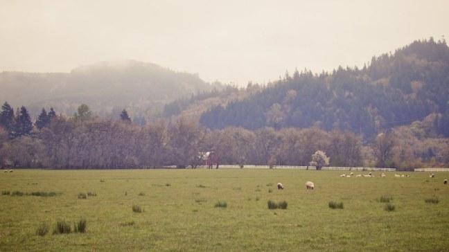 Sheep grazing outside my window