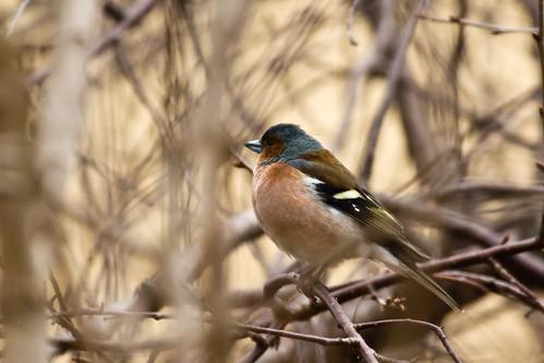 Kikilis (Fringilla coelebs) Chaffinch