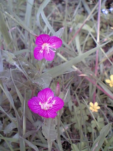 Oenothera pink