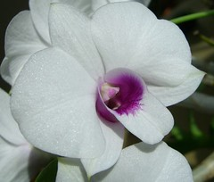 Macro_Orchid 0406a