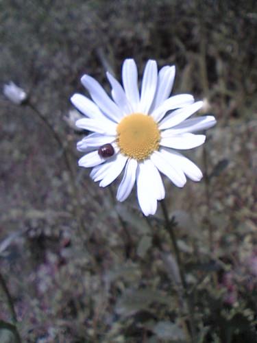 Pillbug shasta daisy