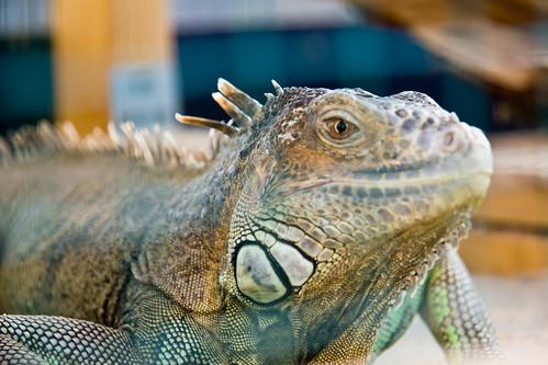 Paprastoji tikroji iguana