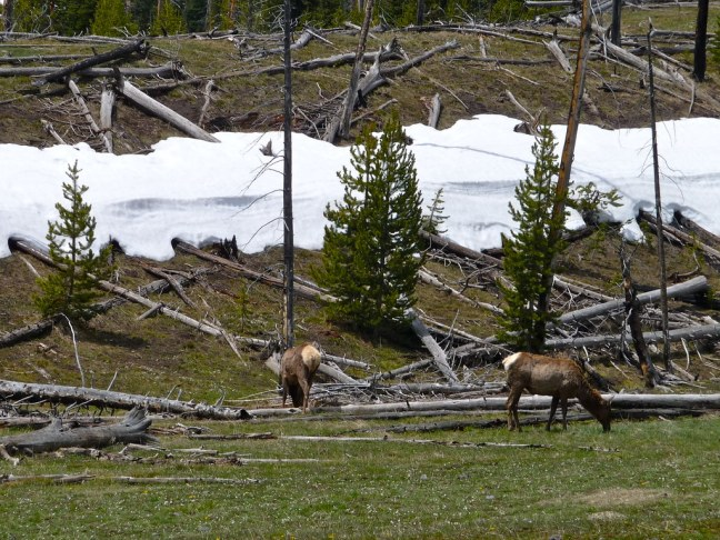 Elk in Yellowstone