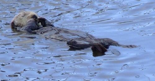 Sea Otter (Crop)