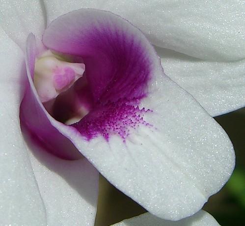 Macro_Orchid 0406