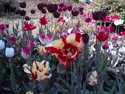tulip garden2