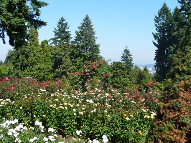 Impressive collection of roses with views of downtown at Portland's Rose Garden