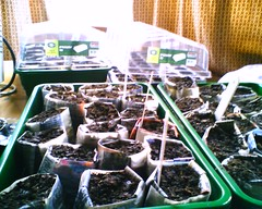 Blurred seeds in newspaper pots. Some of them are growing. Hurrah!