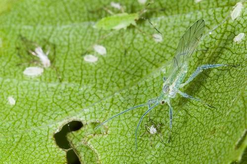 Leven en dood bij de bladluizen