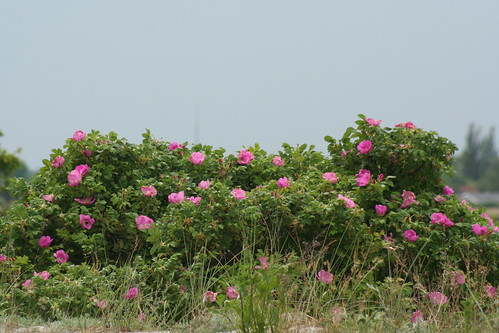 Roser på Staunings Ø