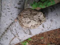 Tree Frog June 1 2006 006