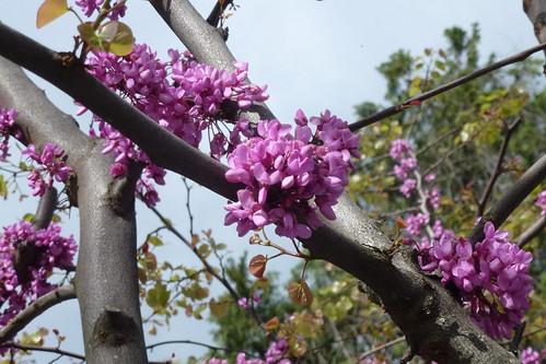 Blomstrende træ ved Bardolino