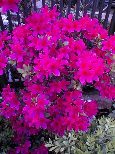 Pretty in Pink tsutsuji