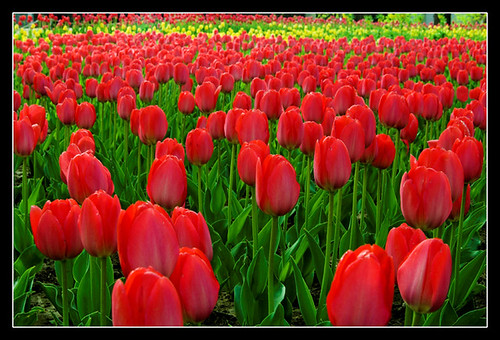 The sea of tulips