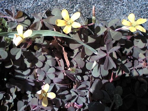 Wild Yellow Oxalis
