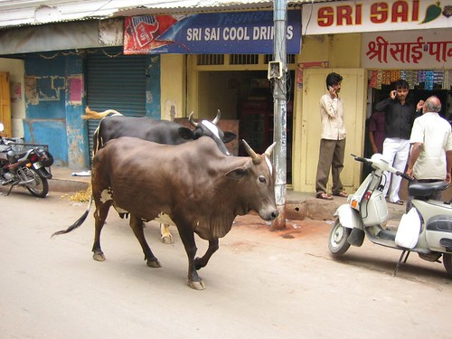cows in charminar