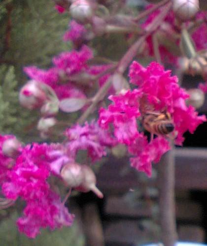 bee visits crepe mytle