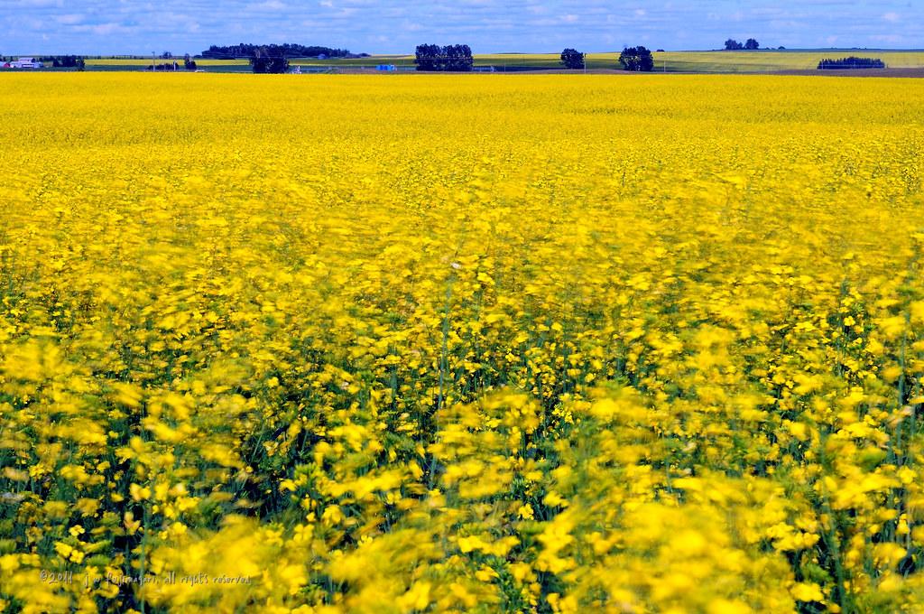 Dreams Of Yellow