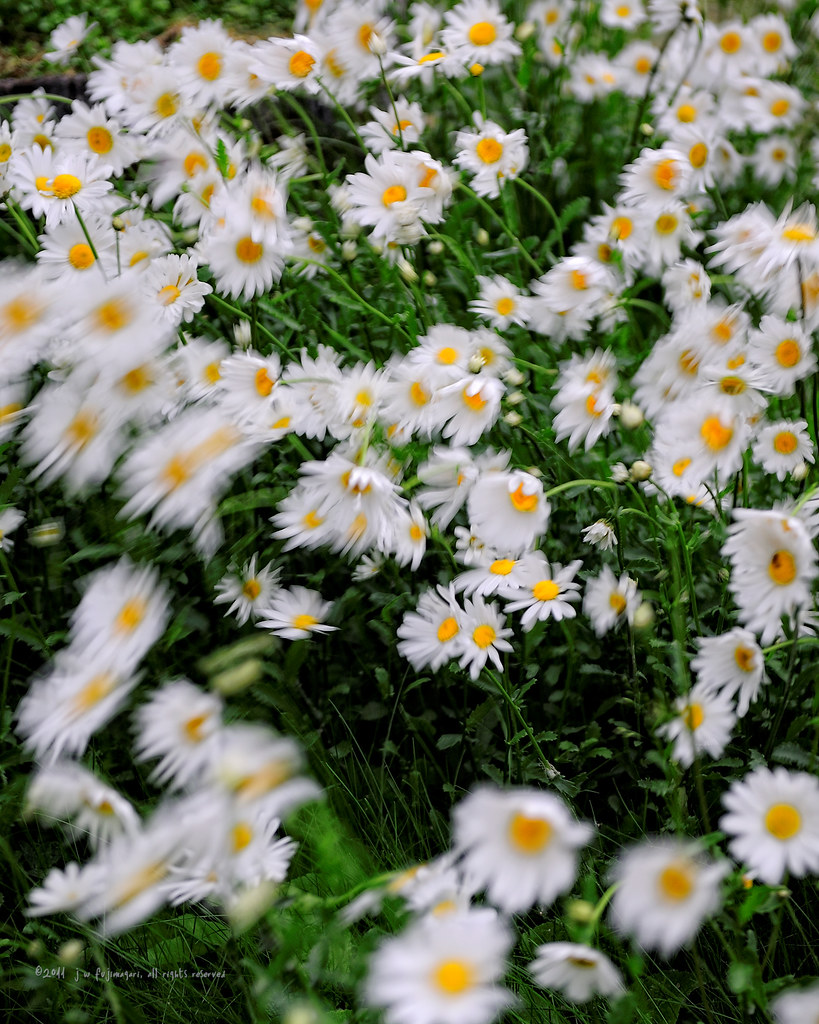 Daisies In The Wind