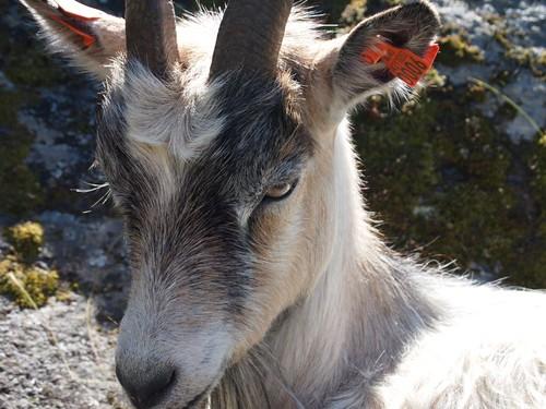 Goat blocking the path