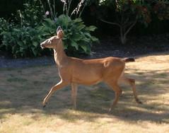 Deer prancing