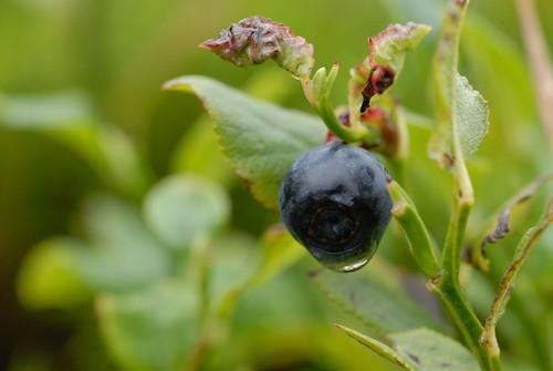 One of the last blueberries/Eine der letzten Blaubeeren