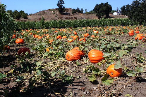 Bates Nut Farm, Pumpkin Patch