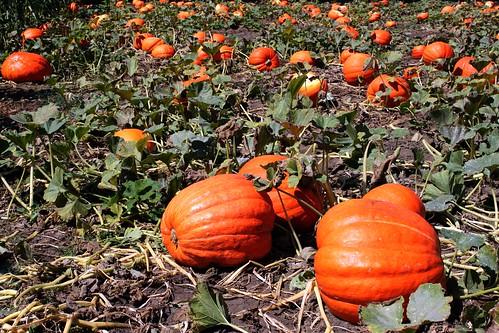 Bates Nut Farm, Pumpkin Patch