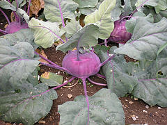 Keepp's photo of kohlrabi
