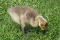 Baby Goose, III