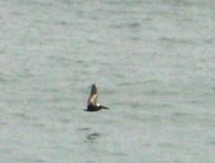 Pelican-zoom-3
