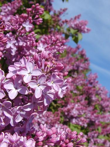Lilacs ... again