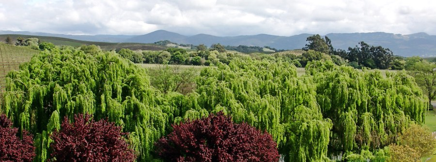 Willows in Wine Country
